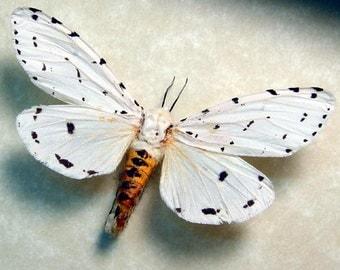 Real Estigmene Acrea Salt Marsh Male Framed Moth 8453
