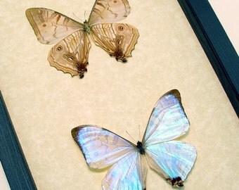Real Framed Morpho Sulkowski Butterfly Set M1016