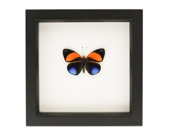 Real Butterfly Wall Art Superb Numberwing Display