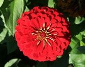 Scarlet Flame Zinnia // Organic Flower Seed // 50 Heirloom Zinnia Seeds