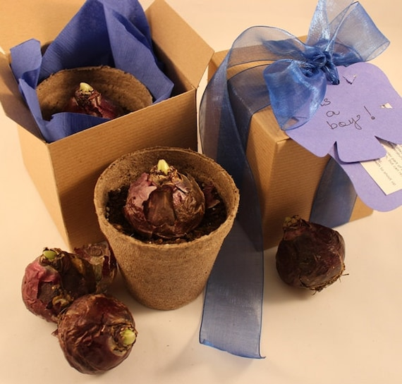 Plant a hyacinth bulb ready to grow prechilled hyacinth bulb gift pre potted just add water - Planting hyacinths pots ...