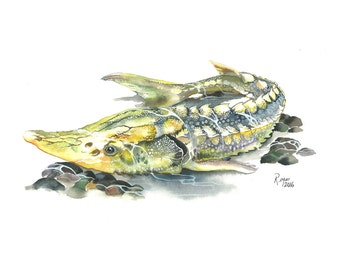 Limited Edition GICLEE Print / Watercolor Painting of a Green Sturgeon