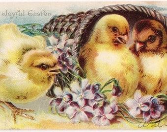 Chicks In A Basket - Antique Easter Postcard - Easter Postcards, Chicks, Chickens, Violets, Baskets, Spring, Purple, Paper, Ephemera
