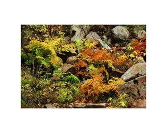 "Fine Art Color Nature Photography ""Autumn Ferns on Pickle Creek 1"" in Hawn State Park in Missouri"