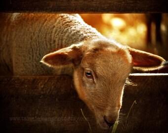 Lamb  - Original Photograph - Rustic Country Farmhouse Wall Decor