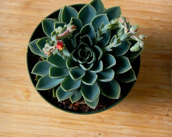 "Blooming Succulent Plant - Healthy 6"" Echeveria Succulent flower - Indoor/Outdoor"
