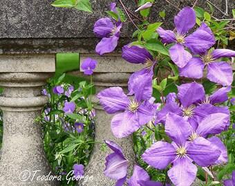 Purple Clematis Photography, Garden Photo, Botanical Photo