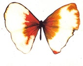 orange, white gold, scarlet red butterfly. ORIGINAL ART watercolour painting