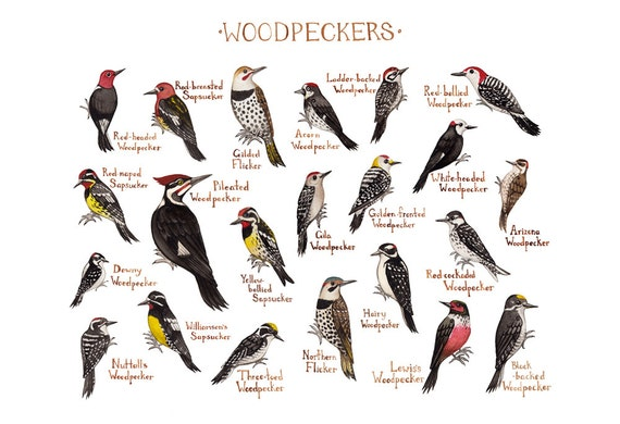 Woodpeckers of north america field guide style watercolor painting art