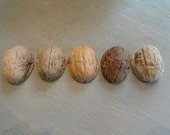 Five Extra Large Walnut Shell Halves for your Projects