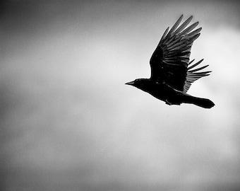 Crow Photo, Bird photography, Nature Photo, Black and White - 8x10 fine art photograph