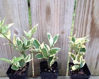 Variegated Ligustrum Privet Evergreen Shrub Starter Plant