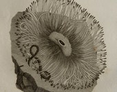 1808 Antique print of SEA ANEMONES, different species. Sea Life. Marine Animals. Natural History. 208 years old engraving