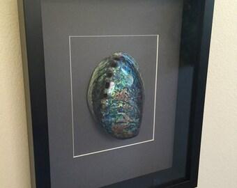 Paua Abalone Polished Shell Framed Art