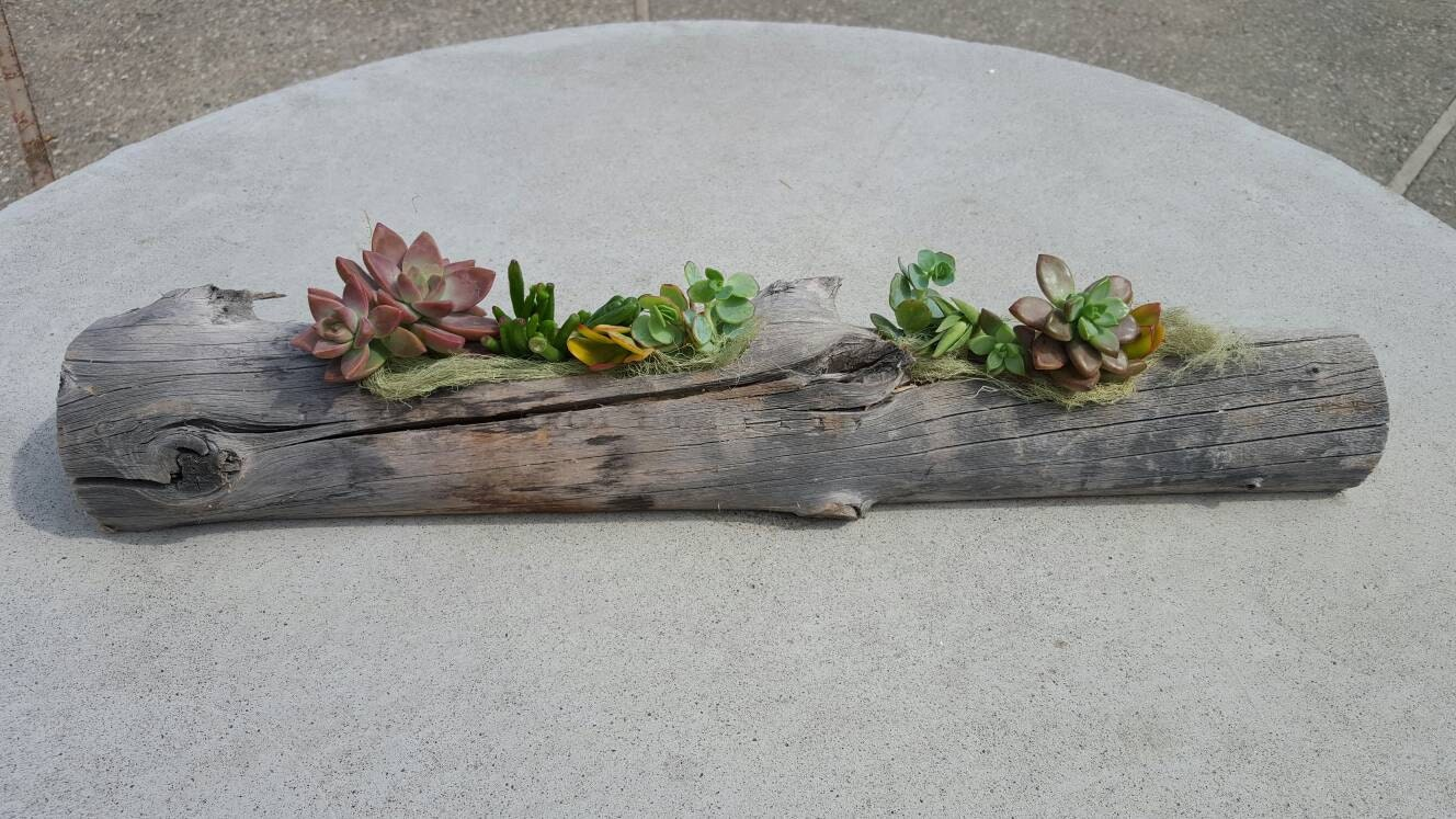 Driftwood Log Planter With Succulents Rustic Wood Beach