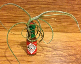 Tilla Critters Mr. Avery One of a Kind Air Plant Creations - Old Key West Series