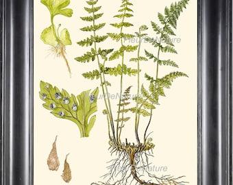 Antique Fern Art Print 6Lindman  Botanical Antique Beautiful Green Ferns Forest Nature Natural Science Living Room Wall Decorto Frame