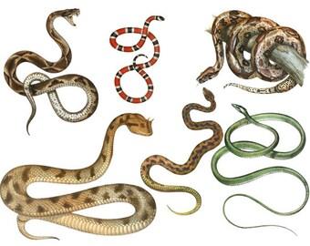 Clipart Snakes Digital Vintage Images - Vintage Snake Digital Clip Art - 40 PNG Images - Instant Download - Clipart Snakes - Halloween
