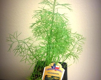 Fernleaf Dill Herb Plants! Culinary Delight!