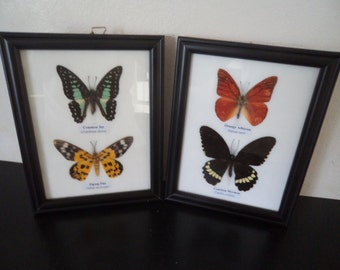 4 Real Asian Butterflies Framed Display Butterfly Taxidermy Common Jay Zigzag Flat Orange Albatross Common Mormon Free Shipping !!