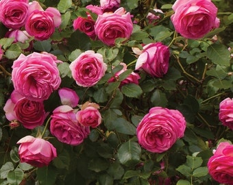 Pretty In Pink Eden ® Climbing Rose Bush Fragrant 70+ Petals Hardy Own Root Climber Organic Grown Potted - Repeat Blooming! Spring Shipping