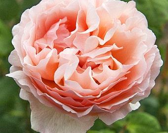Tea Rose Seeds Rose Princesse Charlene de Monaco Flower Seeds,378,yellow rose,roses seeds,planting roses,growing roses from seeds