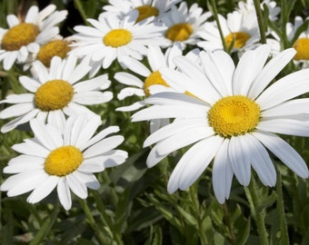 white daisies , 427 , leucanthemum maximum, margarita, wild flower seeds, gardening, flower seeds, daisy seeds