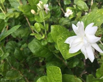 Pikake plant-organically grown in Haiku, Maui-easy to grow shrub-fragrant white flowers-Jasmine sambac