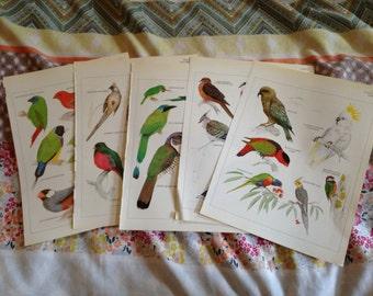 5x Full Colour Plates - Colourful Birds