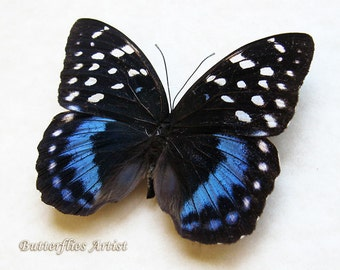 RARE Lexias Satrapes Real Butterflly In Museum Quality Display