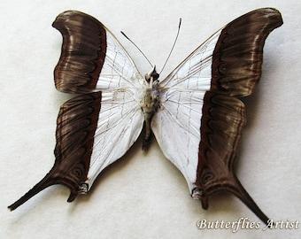Waiter Daggerwing Marpesia Zerynthia Real Butterflies From Peru In Shadowbox