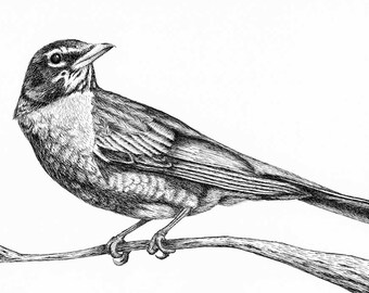 Robin Drawing, Pen and Ink, Bird Art, Bird Drawing