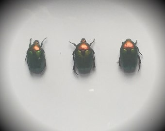 Three Iridescent Green Beetles in Box Frame - Gothic Curiosity - Taxidermy