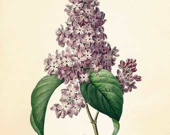 Lilac Vintage flower art print antique wall art Flower wall art botanical prints Garden print Victorian print French wall art Cottage wall