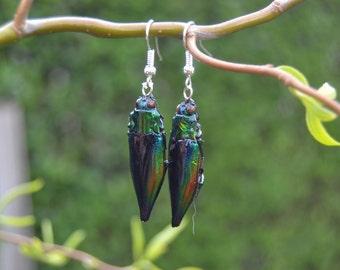 real insect jewel beetle earrings