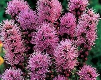 50+ Blazing Star Liatris Prairie / Perennial Flower Seeds