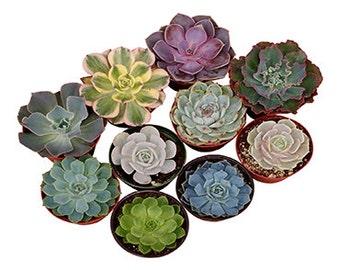 4 Inch Rosette Succulent Plant Collection - live succulents, potted succulents, bulk succulents, wholesale succulents, succulent gifts