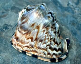"""Baby King Helmet Shell (3-4"""") - Cassis Tuberosa"""