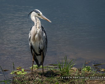 Grey Heron - Animal Photography, Archival Giclee Print, Wildlife Photo - Multiple Sizes Available