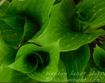 Hosta with Water Drops