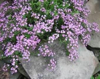 Soapwort- Rose/purple- 200 seeds