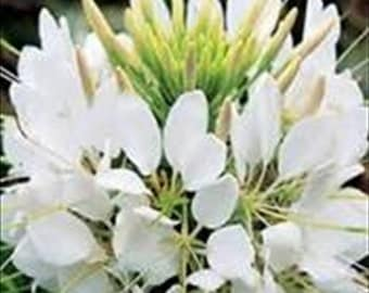 Cleome White Queen - Spider Plant * 50 Seeds