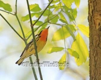 Blackburnian Warbler | Ohio Bird Photograph | Nature | Spring Migrant | Orange Black White | Tropical Songbird | Fire Throat | Warbler Print