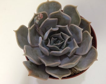 Medium Succulent Plant Medium Echeveria Alabaster Rose. A pale, white toned, rosette.
