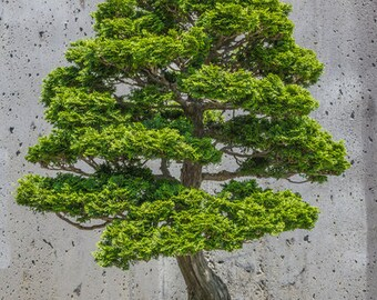 BONSAI - Hinoki False Cypress