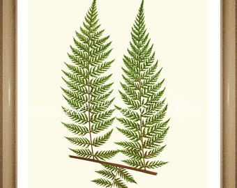 "Fern Print No. 14. Asplenium. Botanical Print. Fern Prints, Vintage Fern Art, Ferns 8x10"""