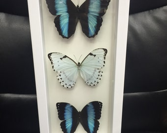 Morpho Butterflies in shadowbox
