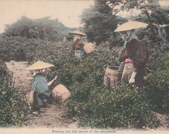 Picking Out The Leaves Of The Tea Plants, Japanese Woman,Antique Postcard,Unused