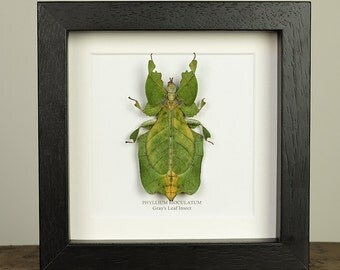 Gray's Leaf Insect in Box Frame (Colotis aurigineus)