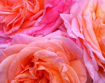 Garden roses nature flower art digital photographic print